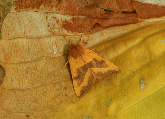 Centre-barred  Sallow