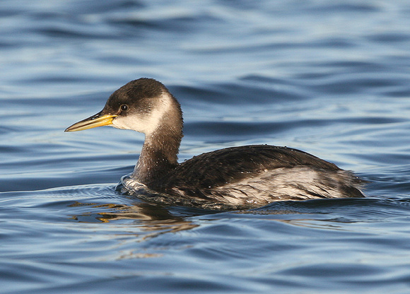 Red-necked Grebe (winter)